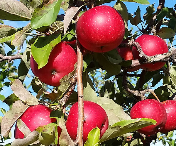 apples at saratoga apple