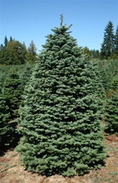 Real Christmas Trees - Garden Goddess Sense and Sustainability: A ...