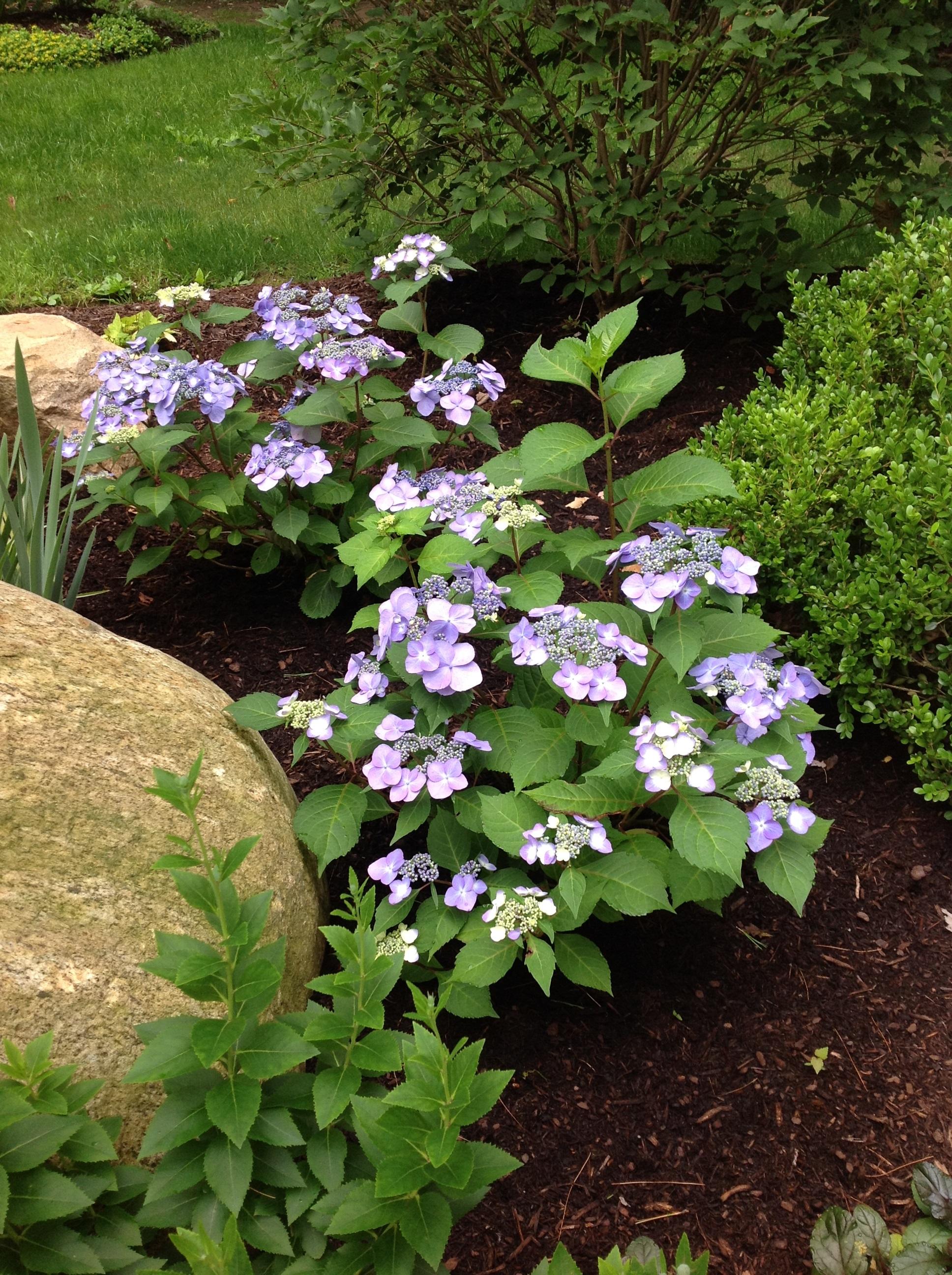 Care for hydrangeas garden goddess sense and sustainability a saratoga garden blog - Caring hydrangea garden ...