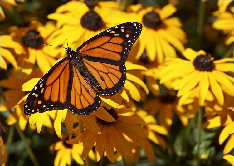 butterfly-yellow-flowers--jpg.jpg
