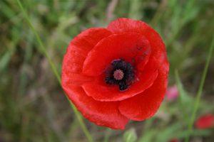 Poppies The Symbol Of Memorial Day Garden Goddess Sense And