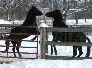 Easy Street Horse Rescue Earl and Blacky Playing.jpg