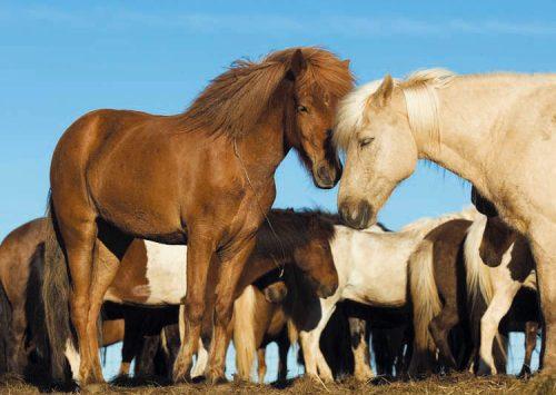 Icelandic Horses Photo.jpg