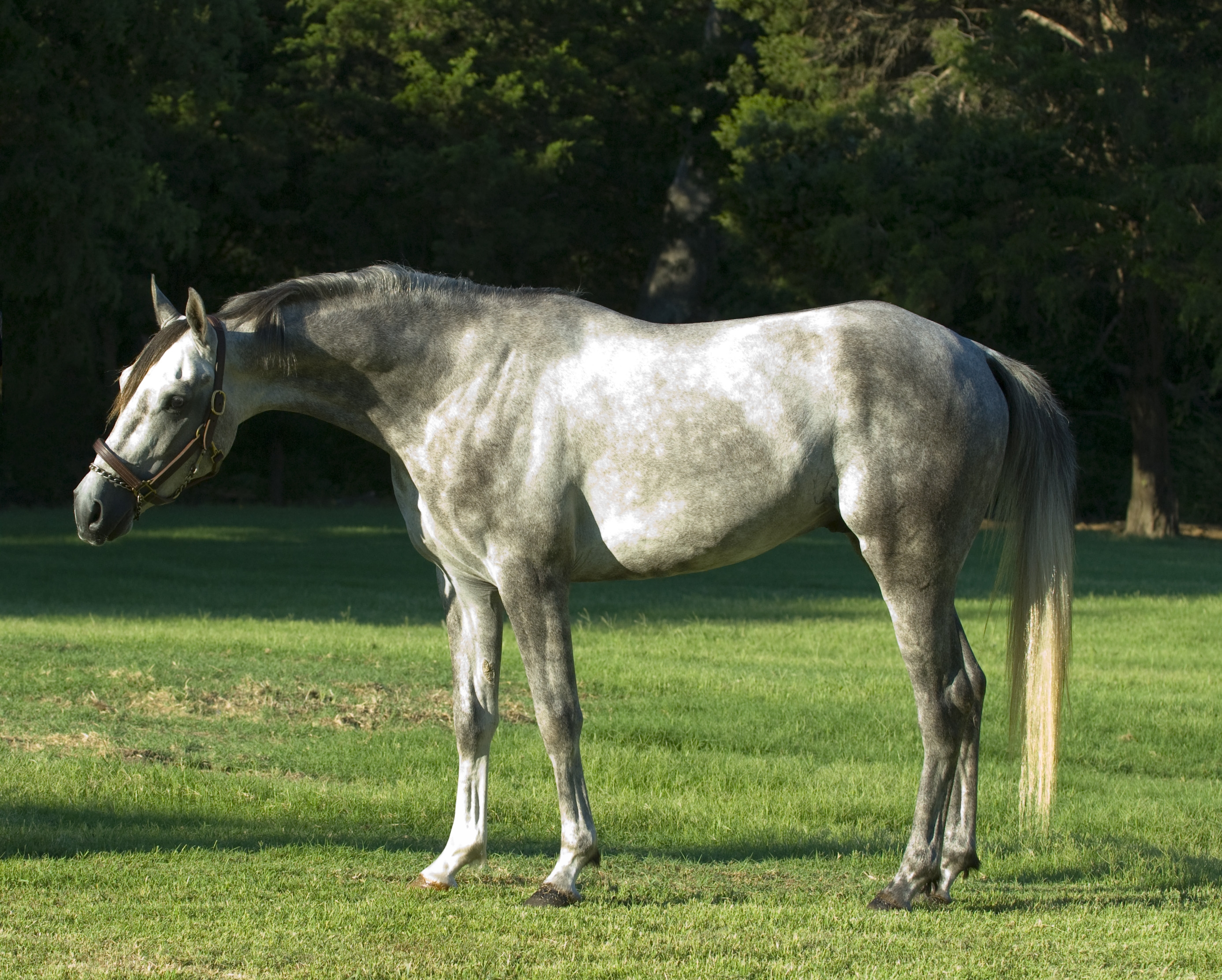 Equicurean Arabians Article TEJAS Dappled Photo Credit Darla Ripley.JPG