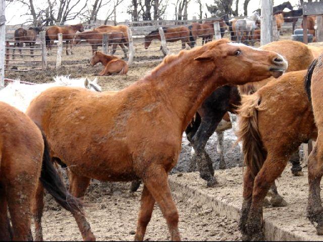 Feedlot Horse PhoenixRidingHorseRescue.JPG