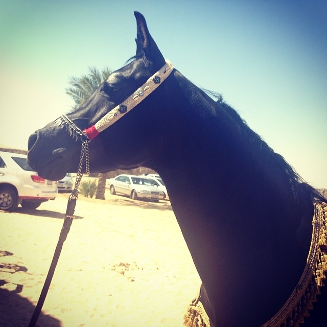 DUBAI WORLD CUP 2014 Black Arabian.jpg