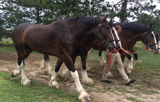two budweiser clydesdales