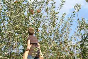 Child Being Lifted To Pick Apple Off Tree