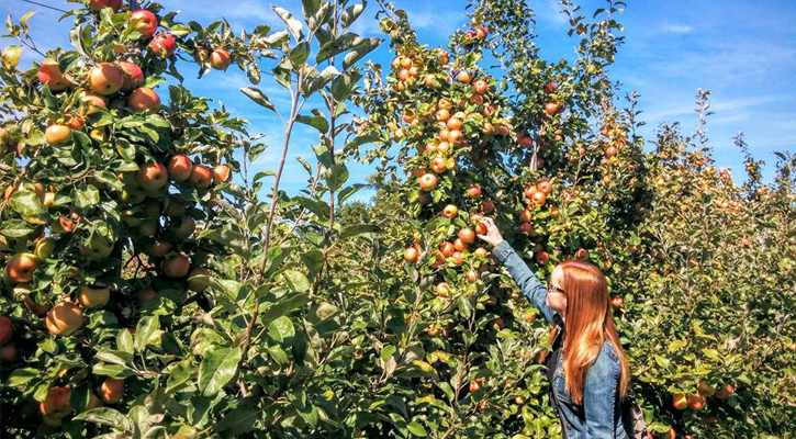 a blonde-haired woman with sunglasses on apple picking in an orchard