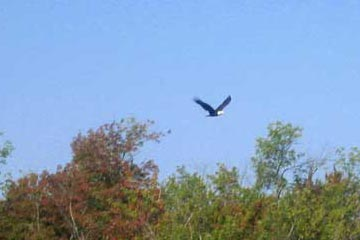 Bald Eagle On Saratoga Lake