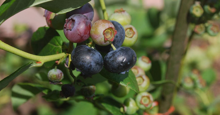 blueberries on a plant