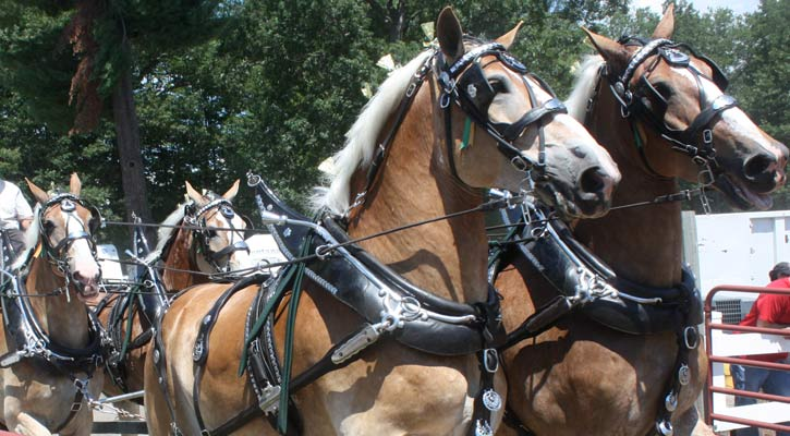 four large, beautiful draft horses drawing a wagon behind them