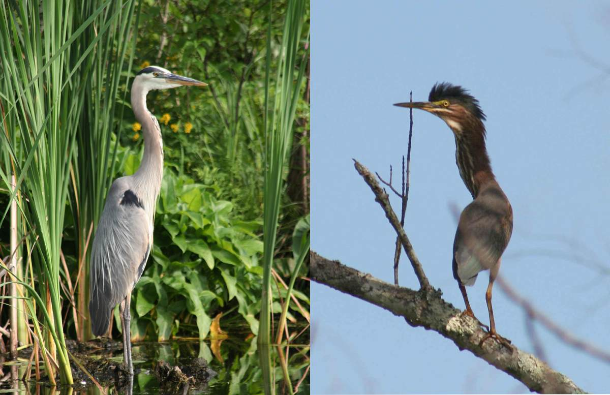 a great blue heron and a green heron