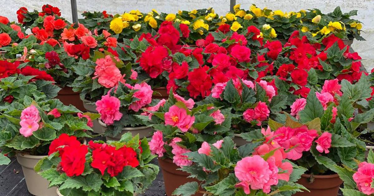 red, pink, and yellow flowers in pots