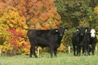 Cattle Grazing On Mack Brook Farm