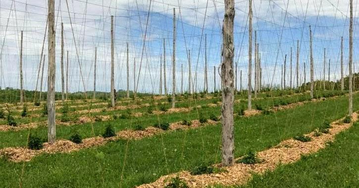 fields in a hops farm