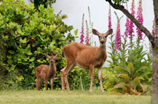 deer and fawn in garden