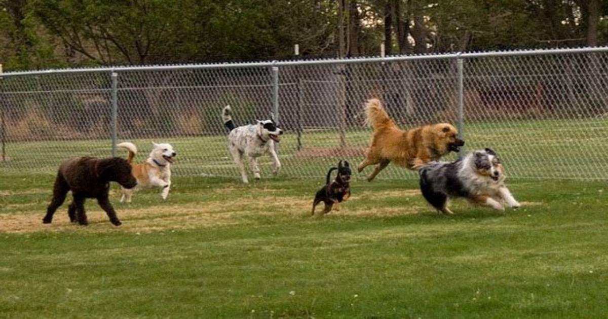 dogs playing in a fenced in area