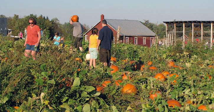 families browsing pumpkins in a pumpkin patch