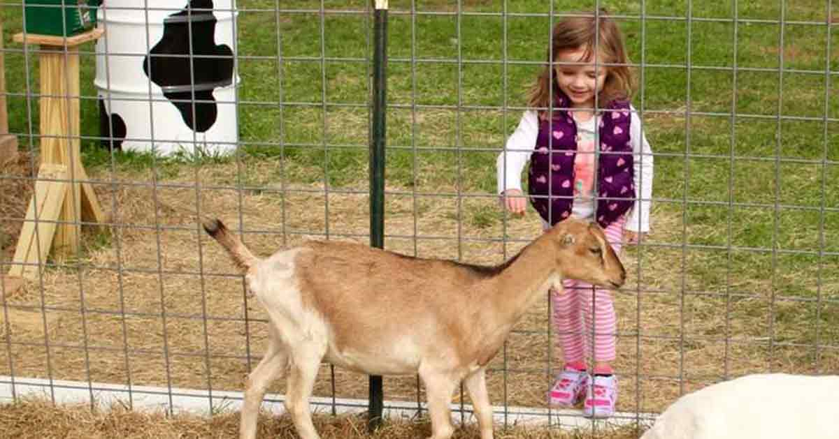 girl petting a goat at ellms family farm