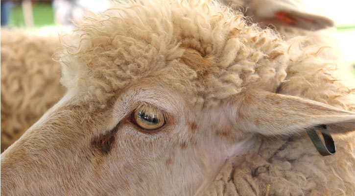 close up of sheep