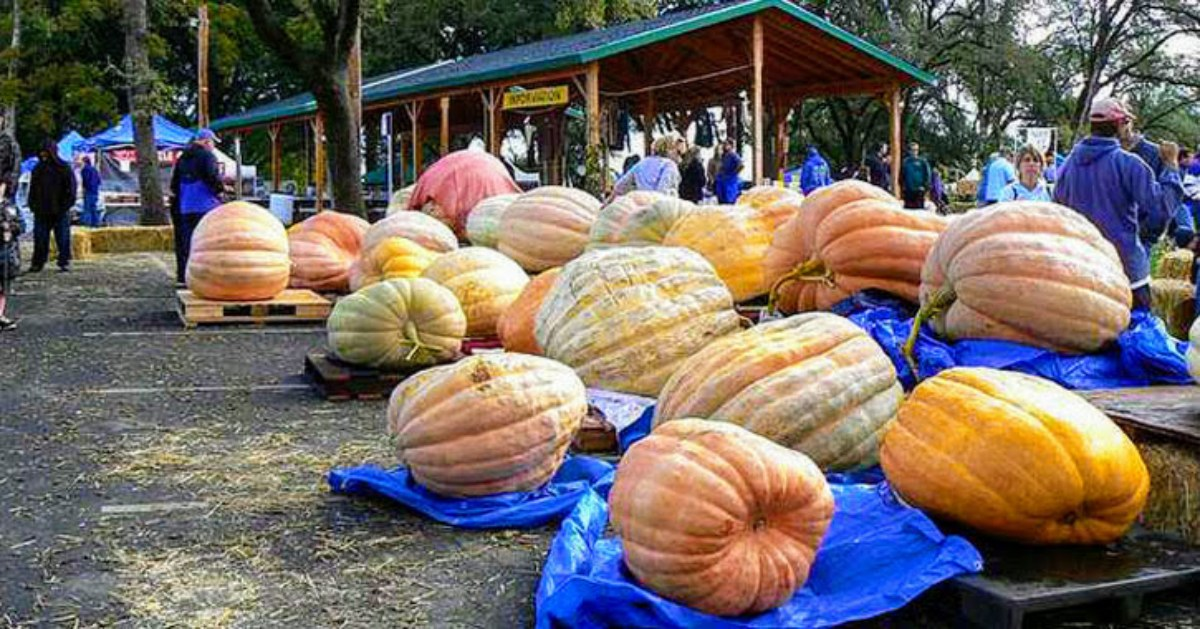several giant pumpkins on display