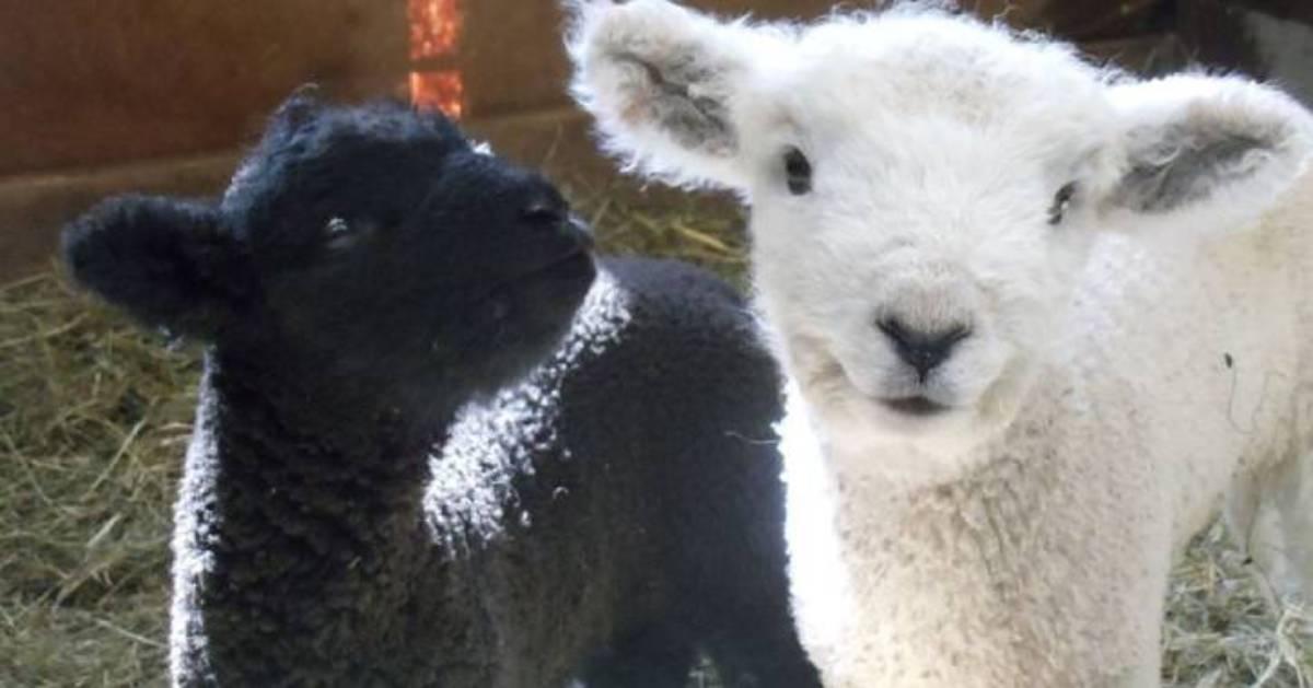 cute white and black lambs
