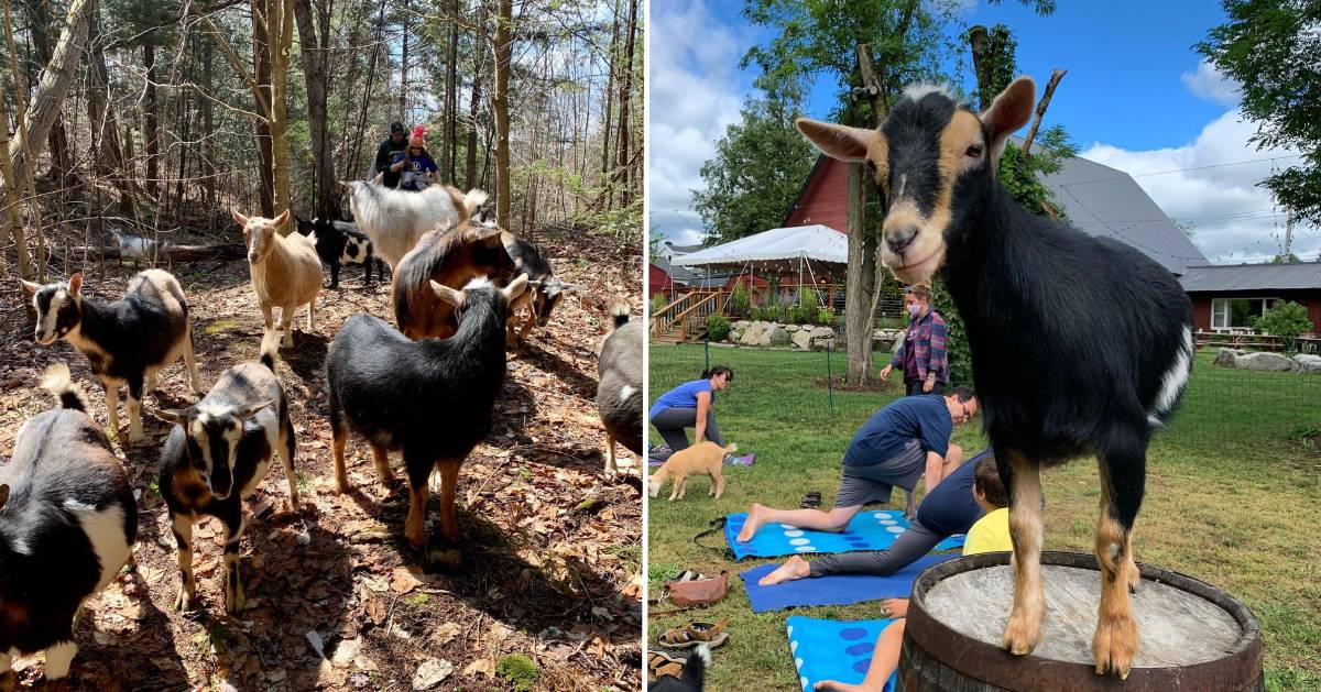 split image with goats in the woods with hikers on the left and a goat with people doing yoga on the right