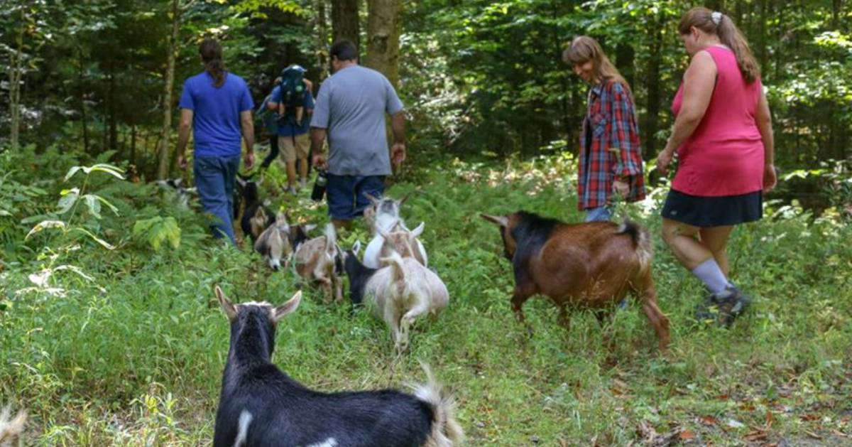 people walking with goats into the woods