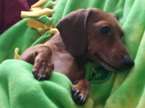 brown dog wrapped in a green blanket