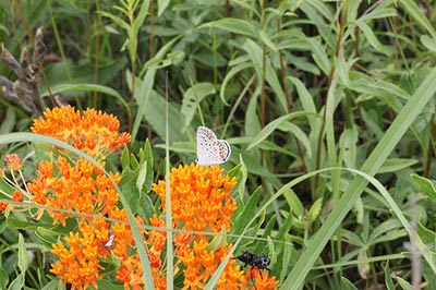 karner blue butterfly on an orange flower