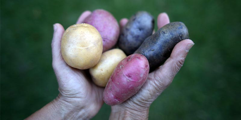 hands holding a variety of potatoes
