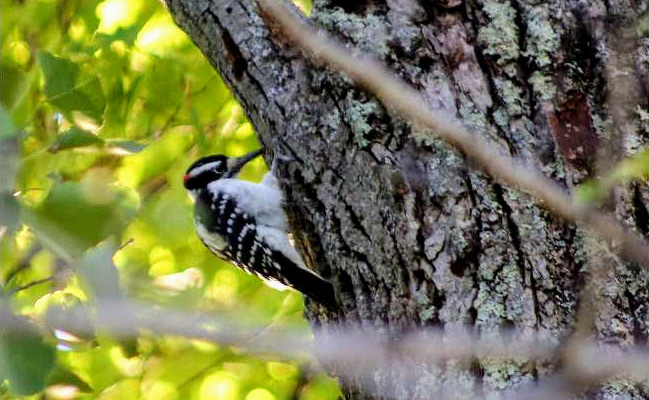a woodpecker on a tree