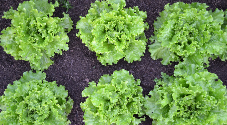 two rows of lettuce plants