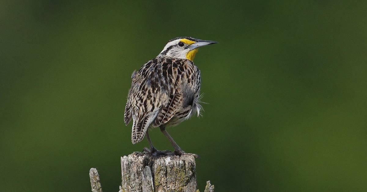 an eastern meadowlark
