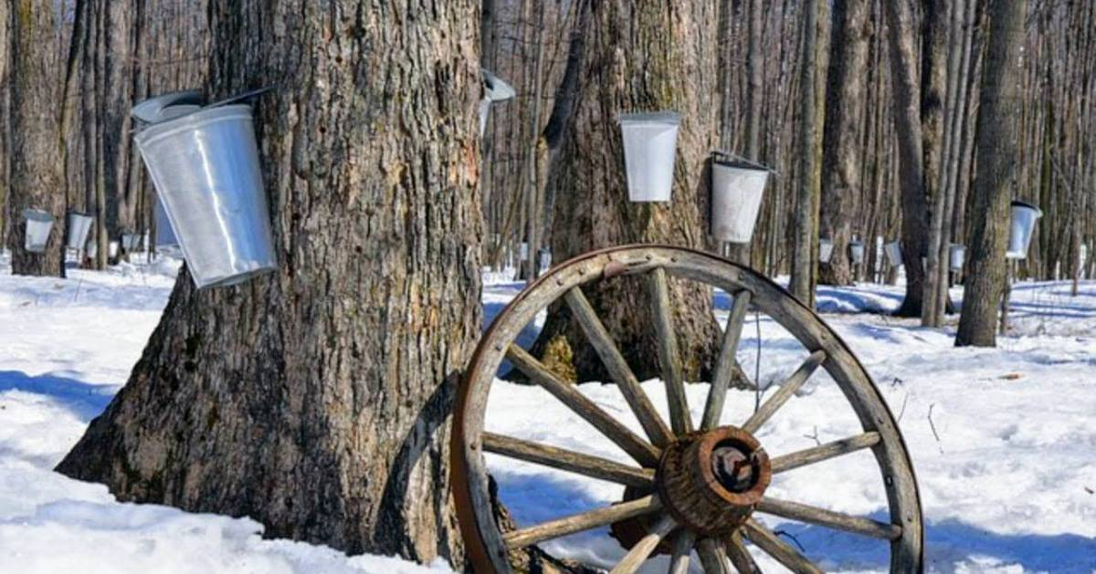 several trees tapped with buckets for sap collection, there's a wagon wheel