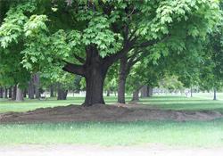 centennial trees