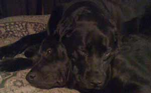 two black labs snuggling
