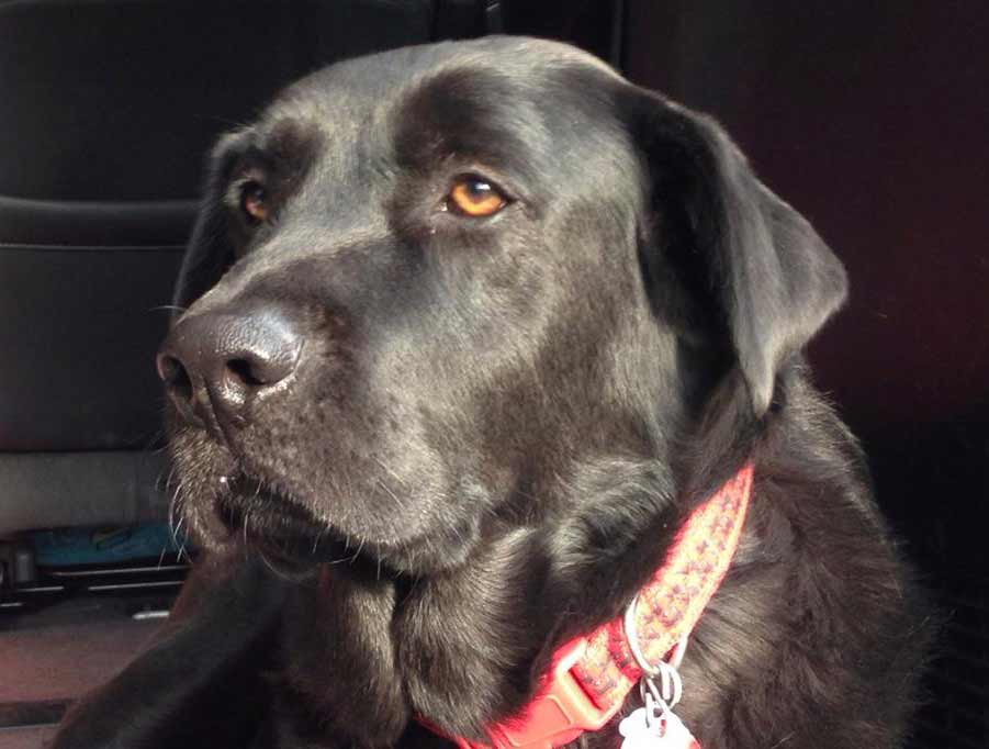 close-up of a black lab