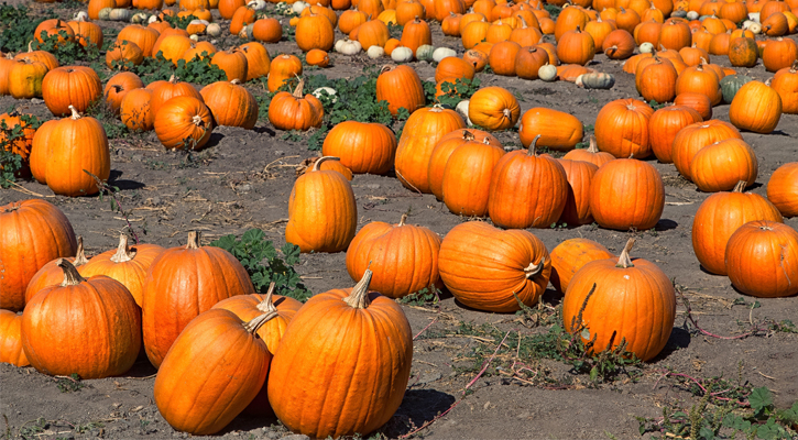 a bunch of a pumpkins in a patch