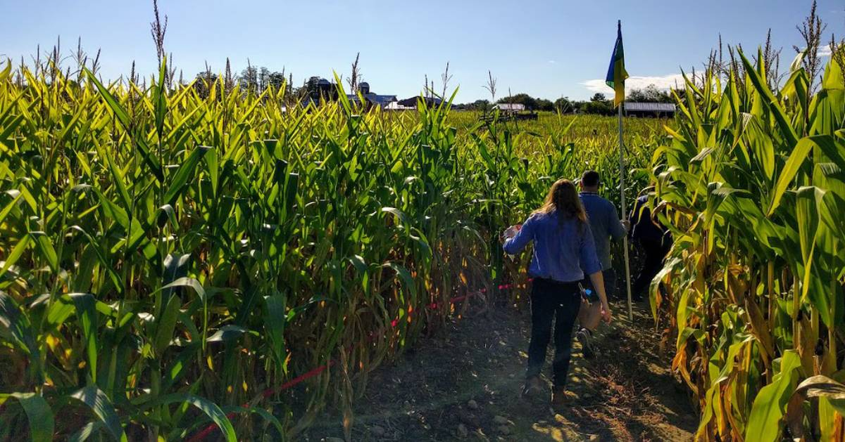 walking in a corn maze