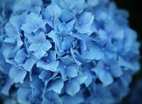 bright blue hydrangea