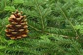 pine branches closeup pine cone