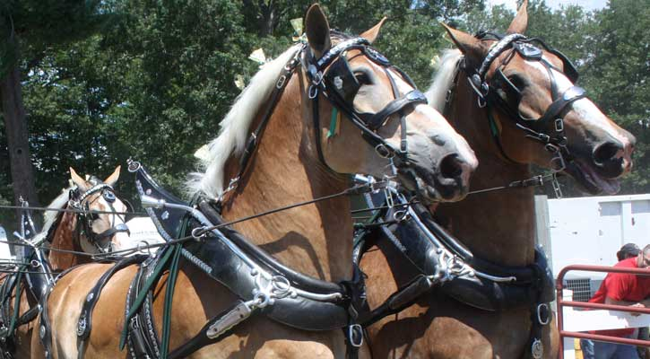 large draft horses