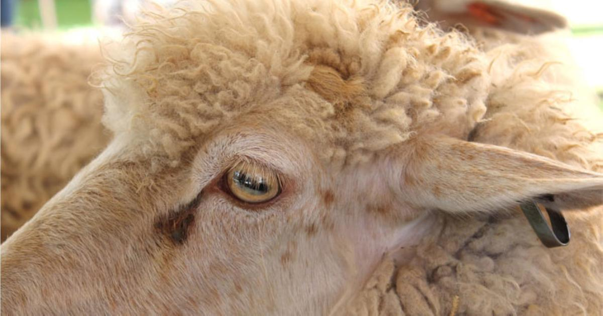 face of a sheep