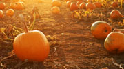 Pumpkin patch in Saratoga