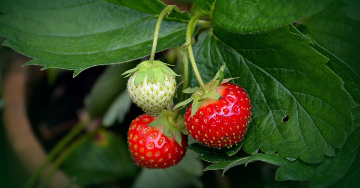 three strawberries on the vine, one immature