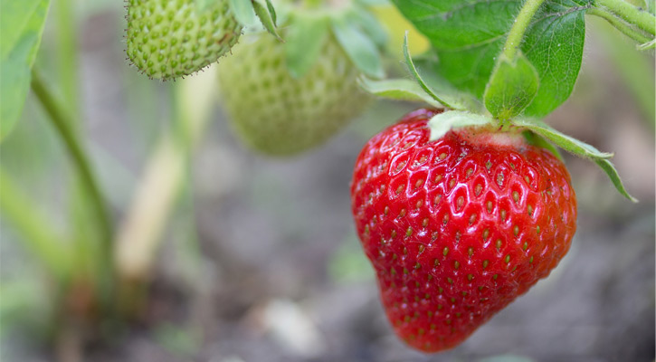red strawberry on plant, unripe, green strawberries in background
