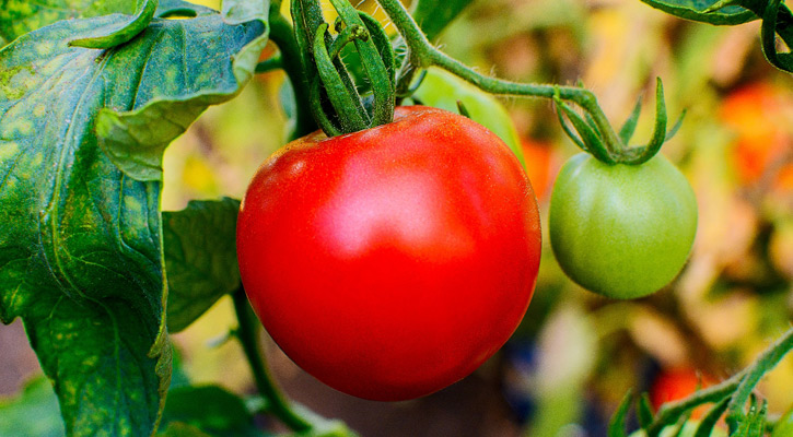 a red and green tomato on a plant
