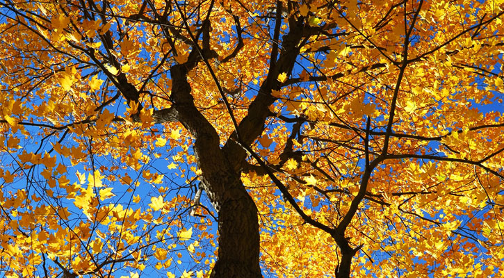 looking up into a tree with yellow fall foliage